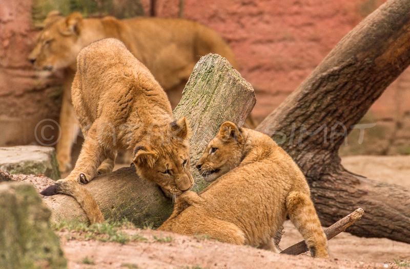 Löwenkinderstube