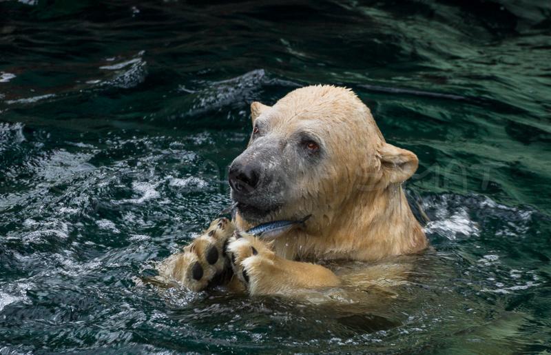 dankbarer Eisbär